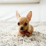 Carpet Cleaning for Pet Owners